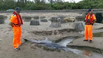 疑遭鯊魚咬傷  鯨豚擱淺死亡