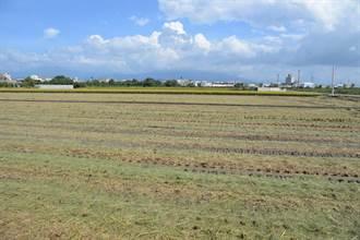 燃燒稻草的田 稻穀產量少1成至1成5