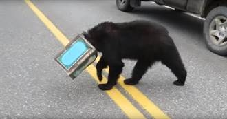 黑熊頭卡鐵罐逛馬路! 路人好心想幫忙卻…