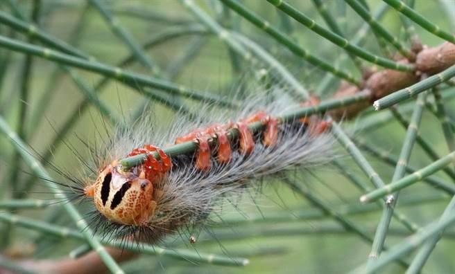 「黑角舞蛾」頭部有明顯的八字紋,碰觸後會有刺痛、搔癢的過敏反應。(金門縣縣林務所提供)