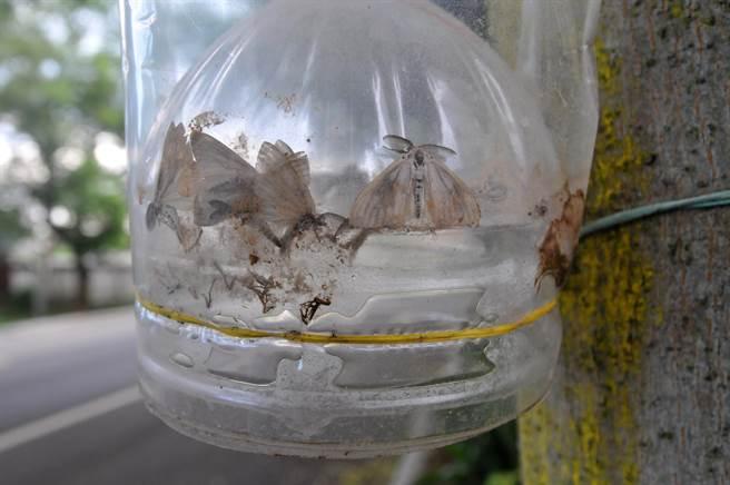 誘蟲器可捕捉雄蟲或干擾雌雄求偶過程,有效控制群數量。(李金生攝)