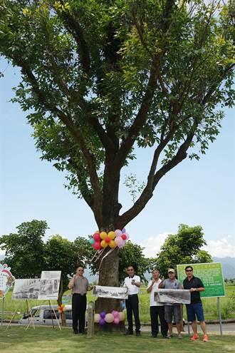 僅存的尤加利樹 見證宜蘭三星鄉開發史