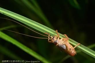 國內新紀錄物種「明透翅蟋螽」金門現蹤