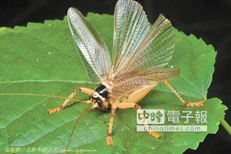 明透翅蟋螽金門現蹤 台灣新紀錄物種