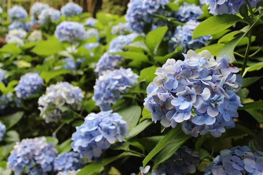 苗栗縣南庄鄉高山青餐廳路口處種植的繡球花盛開中,水藍色、淡紫色等花朵,美不勝收。(黎薇攝)