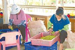 蓮花花期短 蓮子減產2成