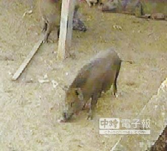 掩護毒窟 山豬當哨兵 猛犬做守衛