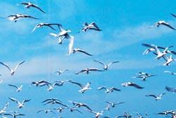 燕鷗進駐澎澎灘 設圍籬保護