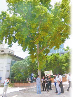 70歲玉蘭樹 逃過死劫
