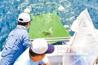 全球首見 水試所從懷孕母鯊腹中搶救20尾小虎鯊 回家了