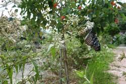 蝴蝶特色 打造竹縣北埔南外社區觀光