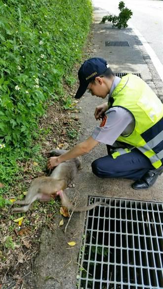 母猴遭撞死 新店警搶救小猴子