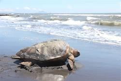 宜蘭今野放赤蠵龜 疑似罕見混種龜