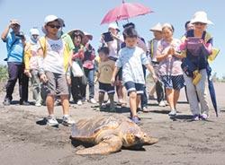 疑似罕見混種龜 Try Try休養3個月 重回大海