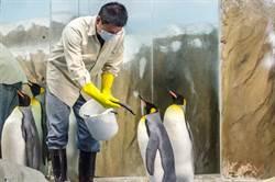 彼此沒看對眼 國王企鵝愛上保育員