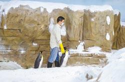 同伴不來電 國王企鵝愛上保育員?