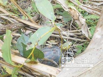 晶片標記!林務局野放75食蛇龜