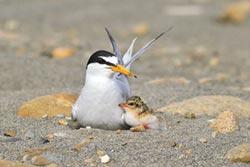 守護小燕鷗繁殖 肉粽角綁綠絲帶