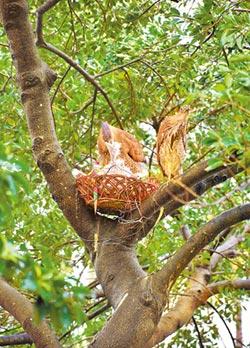 搶救墜地幼鳥 屋主綁水果籃當巢