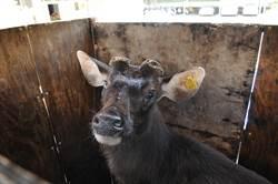 贓車藏鹿 員警化身水鹿褓母
