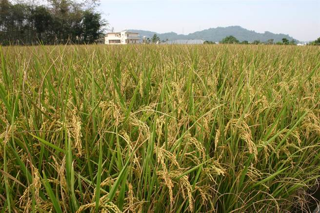 ▲中部地區是台灣稻米的生產重鎮,有濁水溪等優質河川灌溉,生產的稻米都是優質好米。(楊樹煌攝)