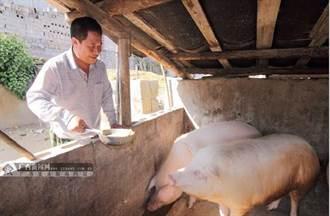 陸農上山採藥 給豬吃中藥