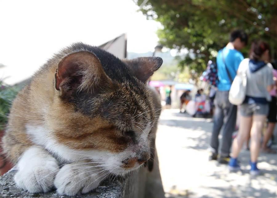 貓咪身體不舒服時,也會發出呼嚕聲。(本報資料照片)