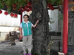 花台綁束百年楓香樹 樹醫健檢拆除解放根系