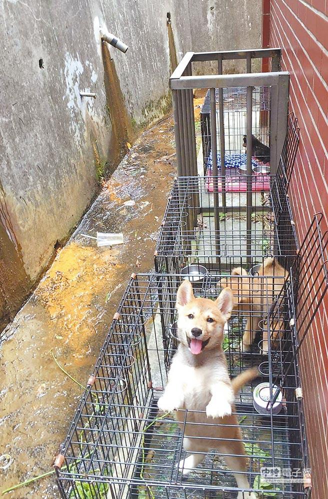 桃園市政府動保處25日接獲動保團體檢舉,在大溪查獲非法繁殖場。(桃園市推廣動物保護協會提供)