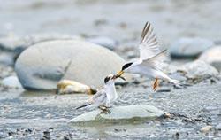 挺過風災 小燕鷗現身海口育雛