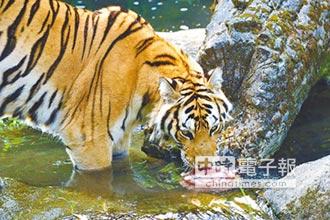 老虎怕熱昏 泡水舔碎冰