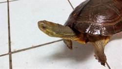 網路認養到保育類柴棺龜  動物之家放生