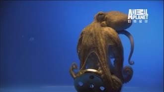 《海洋動物面對面》 揭開章魚的秘密