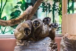 動物園狐猴集體落跑?搬家讓生存環境更舒適