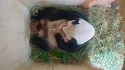 藏好幾天 維也納動物園貓熊原來生雙胞胎