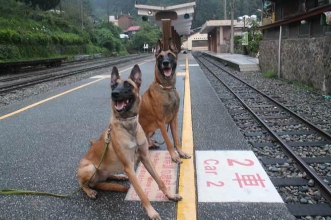 Jaxo也即將在九月代表臺灣參加世界畜犬聯盟(FCI)防衛犬競賽(IPO)世界冠軍盃的角逐。(圖/符煜君攝)