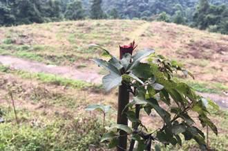 違法濫墾 日月潭「蚊香茶園」剷除完成造林