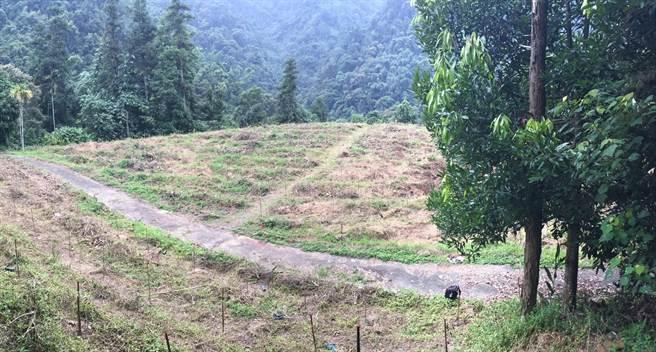 該茶園年初剷除並由林務局收回,現已完成造林。(沈揮勝攝)