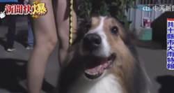 【影】喜樂蒂牧羊犬發現火警 狂吠救全家
