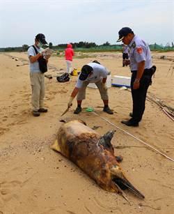 中華白海豚陳屍金門海灘 瀕絕生物再少1隻