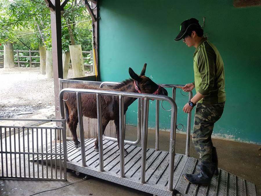 台北市立動物園31日表示,動物體重與健康有密切的關係,但園內許多動物不愛量體重,千方百計閃避,保育員得透過動物訓練、食物引誘,或用抱著量等手段,才能完成定期量體重任務。圖為保育員用紅蘿蔔引誘驢子走上磅秤。(台北市立動物園提供)中央社記者顧荃傳真 105年8月31日
