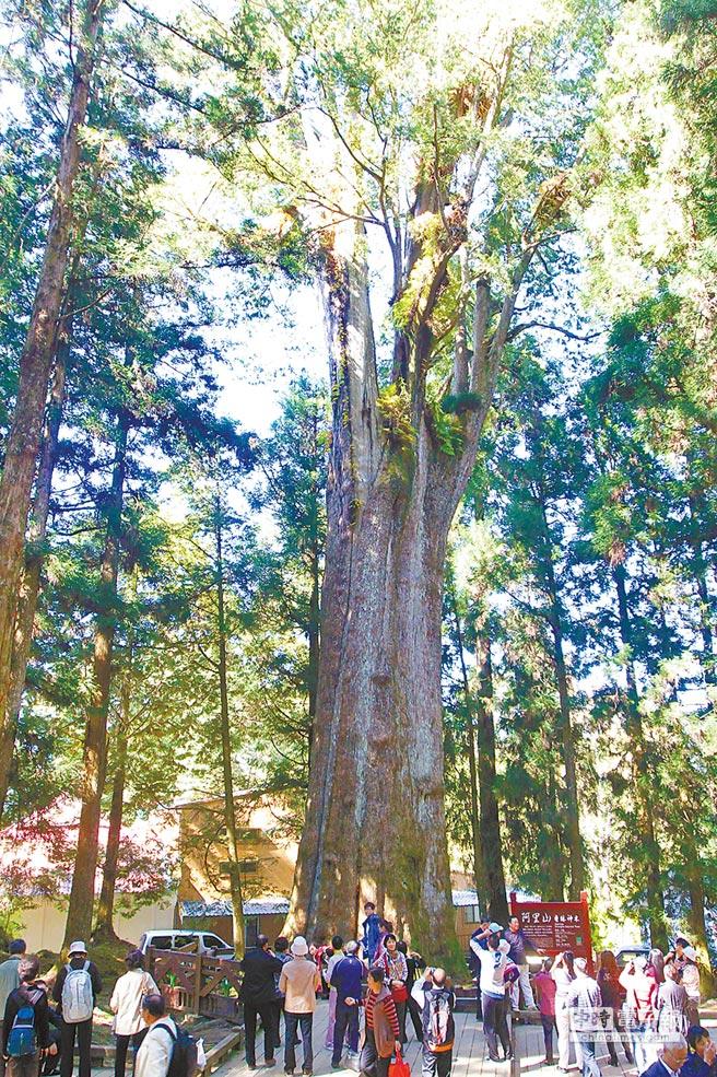 阿里山香林神木是陸客團必訪景點,以往每天約10點過後,人潮絡驛不絕,今年則大不如前。(本報資料照片)