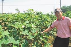 高裕祥種棉花 細說棉被產業