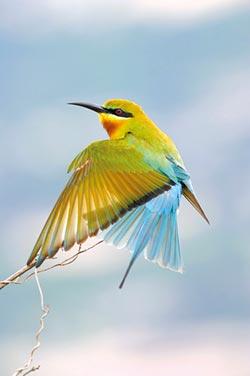 保育有成 金門「栗喉峰虎」 繁殖巢倍增