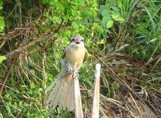 獵捕伯勞鳥食用 老翁被逮正著