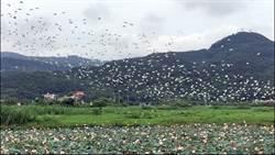 金山清水濕地 500鷺鷥御風飛翔