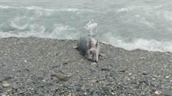強颱莫蘭蒂來襲 花蓮1海豚擱淺死亡