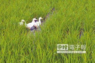 後壁鴨間稻 種出共存有機米