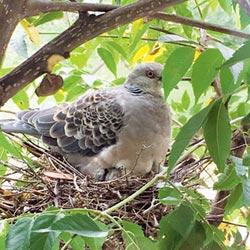 金背鳩鳥產子全紀錄 雪霸紅外線監控
