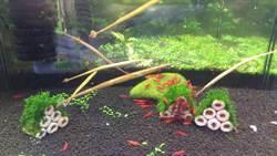 海龍公魚抱卵 還可入藥壯陽